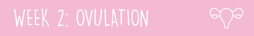 First Trimester Week 2: Ovulation