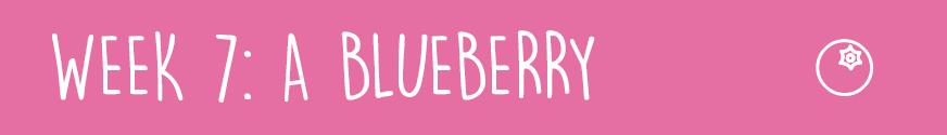 First TrimesterWeek 7:A blueberry