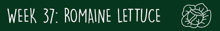 Third Trimester Week 37: A head of romaine lettuce